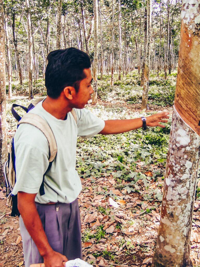 glenmore plantage Kalibaru, Banyuwangi, Oost-Java, Indonesia